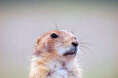 观看面孔接近的草原土拨鼠 库存照片
