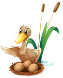观看鸡蛋的鸭子在巢在池塘附近 免版税库存照片