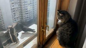 观看鸽子的美丽的成人猫在窗口附近 影视素材