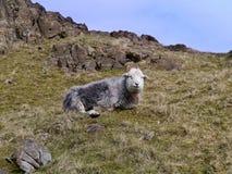观看从山坡的孤零零绵羊 免版税库存图片