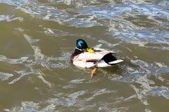 观看他们的卫生学的鸭子 免版税库存照片