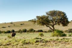 观看warthog的布什大象 免版税库存照片