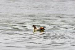 观鸟在湖Hora,埃塞俄比亚附近 免版税库存照片