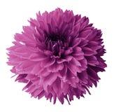 视图的接近的大丽花粉红色 开花在与裁减路线的白色被隔绝的背景 对设计 特写镜头 免版税库存图片