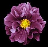 视图的接近的大丽花粉红色 开花在与裁减路线的黑色被隔绝的背景 对设计 特写镜头 库存图片