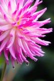 视图的接近的大丽花粉红色 免版税库存照片
