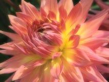 视图的接近的大丽花粉红色 图库摄影