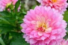 视图的接近的大丽花粉红色 免版税库存图片