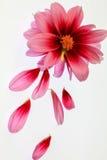 视图的接近的大丽花粉红色 库存图片