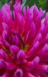 视图的接近的大丽花粉红色 免版税图库摄影