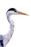 视图的接近的苍鹭 免版税库存照片