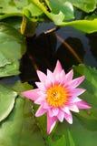 视图的接近的莲花粉红色 库存照片