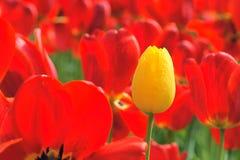 视图的芽接近的郁金香 库存图片