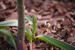 视图的芽接近的郁金香 库存照片