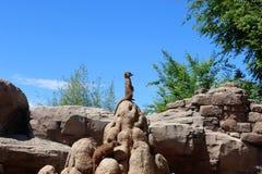 视域Meerkats 免版税库存照片
