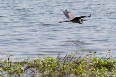 视线之外腾飞的伟大蓝色的苍鹭的巢 免版税库存照片