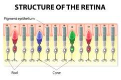 视网膜结构 免版税库存图片