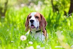 角度小猎犬补白广泛使用的森林对立 免版税库存图片