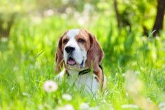 角度小猎犬补白广泛使用的森林对立 库存图片