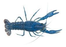 角度蓝色小龙虾高查阅 库存照片