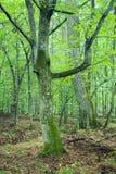 角树老树干 免版税图库摄影