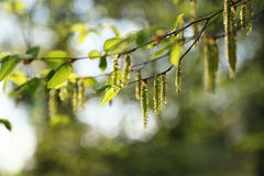 角树花 库存照片