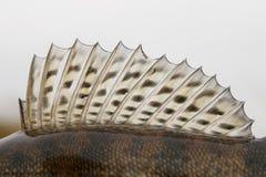 角膜白斑(鲈)的背鳍 库存照片