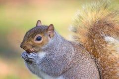 角落拥挤著名海德早晨公园人灰鼠被采取的星期天是 免版税库存照片