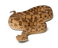 角蝰蛇有角的saharan蛇蝎 库存图片
