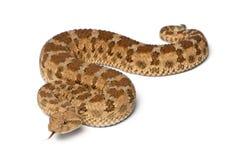 角蝰蛇有角的saharan蛇蝎 免版税库存照片