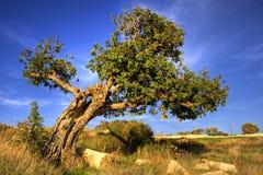 角豆树老结构树 库存图片