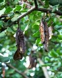 角豆树 免版税库存图片