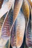 角豆树 图库摄影