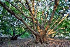 角豆树 免版税库存照片