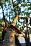 角豆树 库存照片