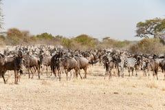 角马和斑马在了不起的迁移时间在塞伦盖蒂,非洲,角马hundrets一起 免版税库存图片