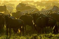 角马和斑马在早晨光 免版税库存图片