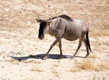 角马在公园 库存照片