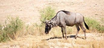 角马在公园 库存图片