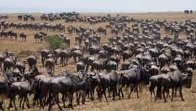 角马在大草原互相跟随 巨大迁移 肯尼亚 坦桑尼亚 马塞人玛拉国家公园 免版税库存照片
