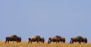 角马在大草原互相跟随 巨大迁移 肯尼亚 坦桑尼亚 马塞人玛拉国家公园 免版税库存图片