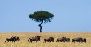 角马在大草原互相跟随 巨大迁移 肯尼亚 坦桑尼亚 马塞人玛拉国家公园 库存照片