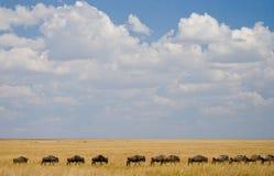 角马在大草原互相跟随 巨大迁移 肯尼亚 坦桑尼亚 马塞人玛拉国家公园 库存图片