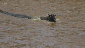 角马在玛拉河努力释放自己从一条鳄鱼 股票视频