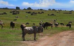 角马在马塞人玛拉的大牧群前面站立 免版税图库摄影