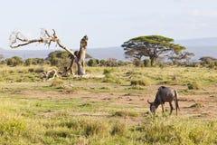 角马在Amboseli,肯尼亚 免版税图库摄影
