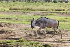 角马在Amboseli,肯尼亚 免版税库存图片