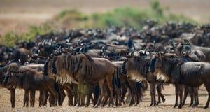 角马大牧群在大草原的 巨大迁移 肯尼亚 坦桑尼亚 马塞人玛拉国家公园 库存照片