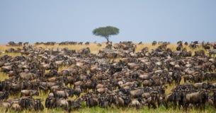 角马大牧群在大草原的 巨大迁移 肯尼亚 坦桑尼亚 马塞人玛拉国家公园 免版税库存照片