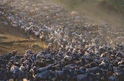 角马大牧群在大草原的 巨大迁移 肯尼亚 坦桑尼亚 马塞人玛拉国家公园 免版税库存图片